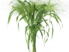 Panicum-Fountain-4