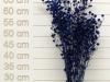 Stillingia Blue