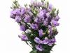 Eustoma Croma Lavender