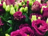 Eustoma Rosita Dark Pink
