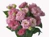 Eustoma Rosita Light Pink