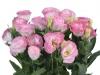 Eustoma Rosita Pink Picotee
