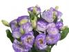 Eustoma Rosita Picotee Blue