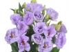 Eustoma Rosita Lavender