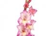 Gladiool Pink