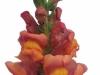 Antirrhinum Antibes Orange