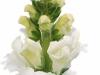 Antirrhinum Avignon White