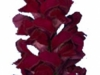 Antirrhinum Cannes Velvet Red