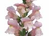 Antirrhinum Orleans Pink