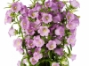 Campanula Big Ben Lavender