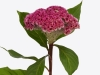 Celosia Neo Pink