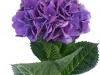 Hydrangea Magical Crimson Purple