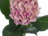 Hydrangea Elbtal Pink