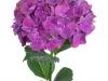 Hydrangea Rubyred Purple