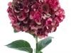 Hydrangea Rubyred Classic