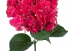 Hydrangea Rubyred Hot