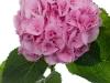 Hydrangea Mammoet Pink