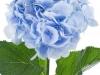 Hydrangea  Verena Blauw
