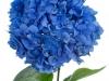 Hydrangea Pimpernel Blauw