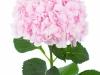 Hydrangea Verena Rose