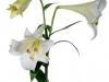 Lilium Longliflorum White Heaven