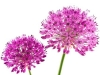 Allium Purple Sense