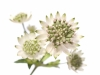 Astrantia White