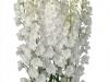 Delphinium Triton Blanco