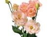 Eustoma Falda Salmon