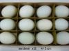 eieren-in-div-soorten-007