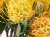 Leucospermum Gold