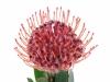 Leucospermum Scarlet Ribbon