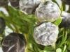 Leucadendron Silverpearl