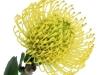 Leucospermum High Gold