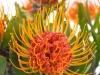 Leucospermum Saxosum