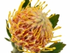 Leucospermum Veldfire