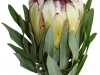Protea White Night