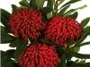 Protea Waratah