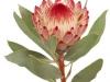Protea Robijn