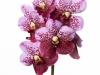 Divana Pink Mohogany
