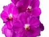 Nitaya Bright Pink
