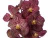 Sunanda Chestnut Spots