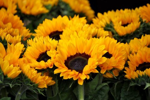 Helianthus Sunrich Orange